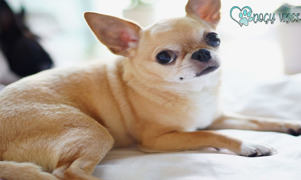 The character and features of the Chihuahua dog