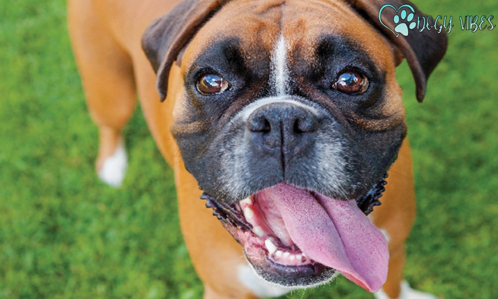 The Boxer Dog Character