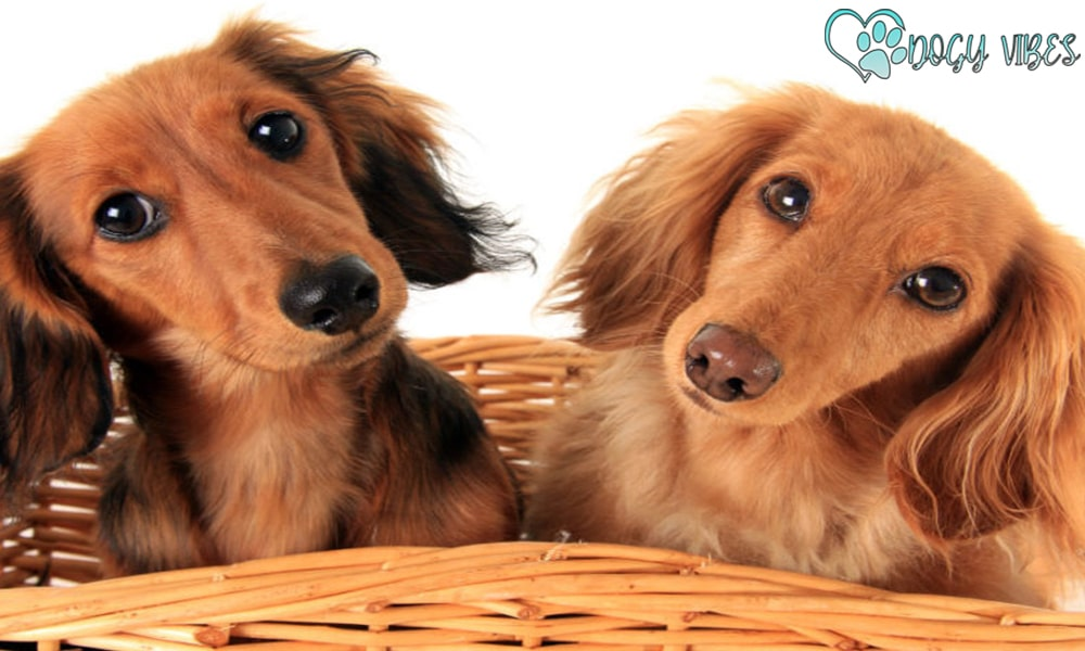 A character of a Dachshund dog with his friends at home