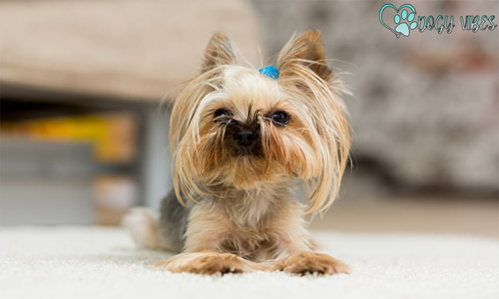 Health problems facing a Yorkie