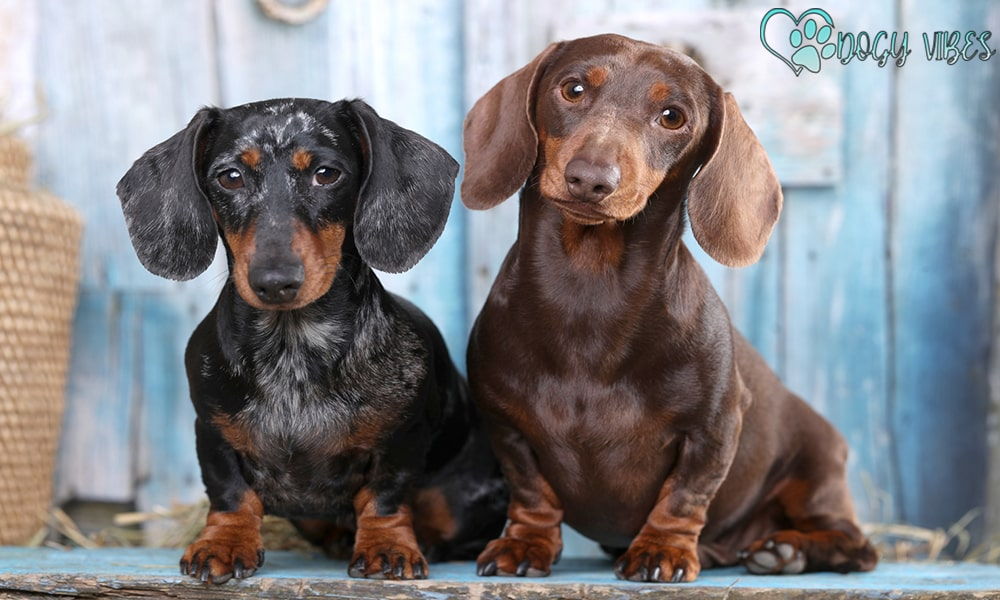 Health problems facing dachshund dogs