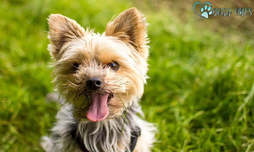 Yorkies' behavior with children and other animals
