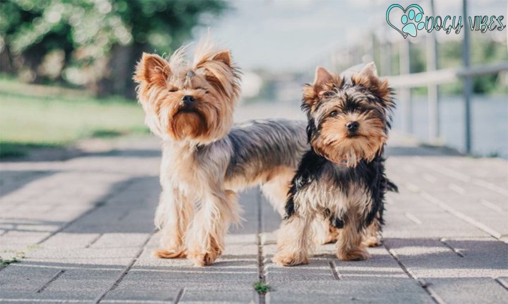 The history and upbringing of the Yorkshire Terrier