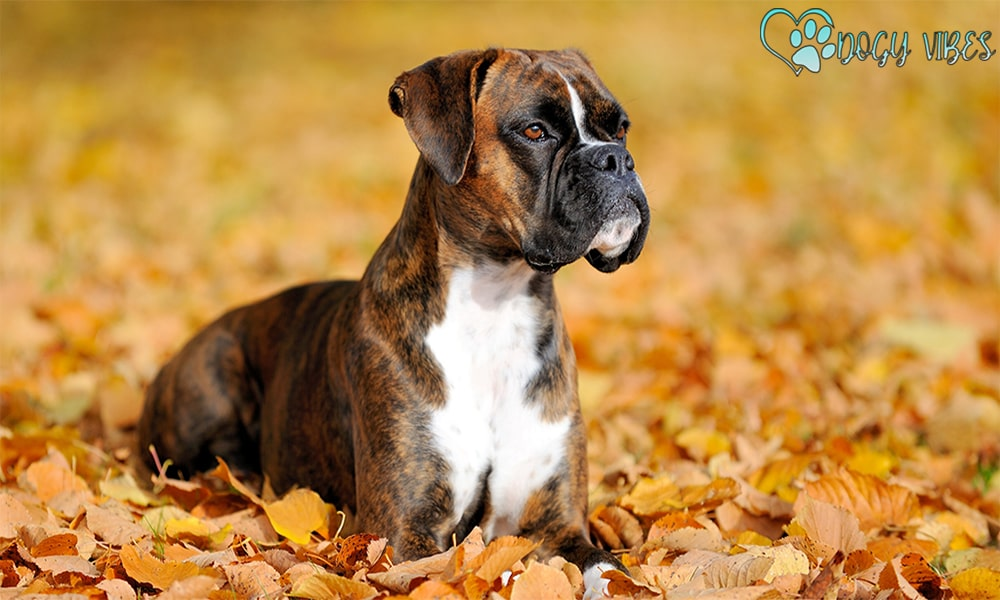 How to train boxer dogs?