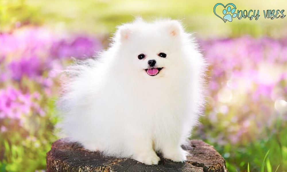 Ways to care for the Pomeranian dog