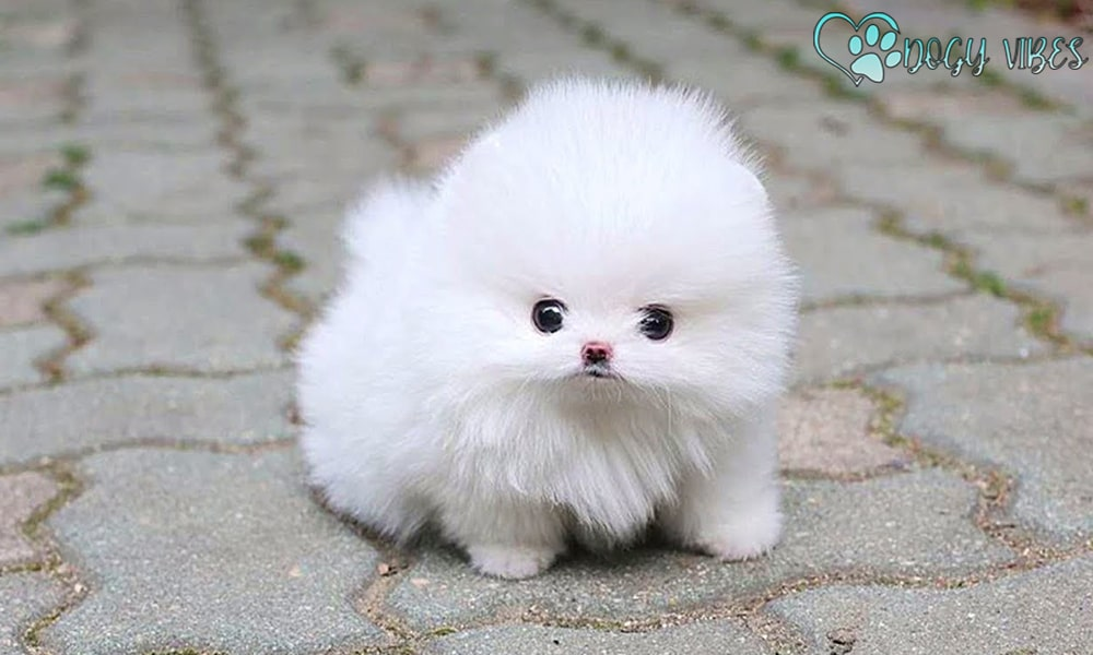 The history and origin of the Pomeranian dogs
