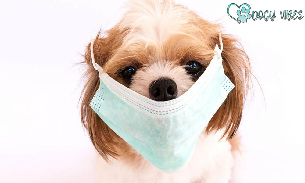 How do dogs get rabies cough?