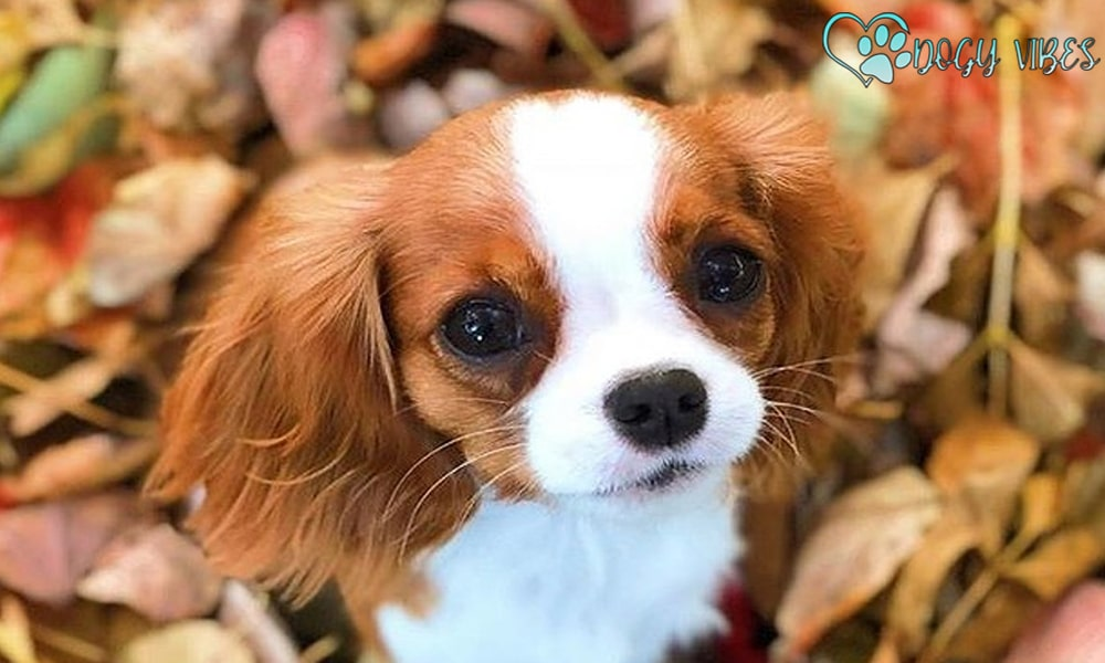 History of the Cavalier King Charles' dog